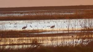 Sandhill Cranes at Woodbridge Ecological Reserve