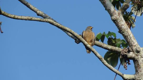 Roadside Hawk Darien Province Panama by Jason Gray